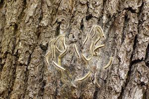 Les chenilles processionnaires du chêne